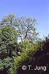 Phytophthora Picture Gallery - Alder dieback, Preview-picture and link to alder1.jpg
