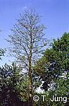 Phytophthora Picture Gallery - Alder dieback, Preview-picture and link to alder2.jpg