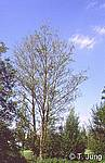 Phytophthora Picture Gallery - Alder dieback, Preview-picture and link to alder3.jpg