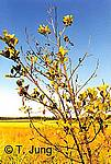 Phytophthora Picture Gallery - Alder dieback, Preview-picture and link to alder4.jpg