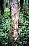 Phytophthora Picture Gallery - Alder dieback, Preview-picture and link to alder9.jpg